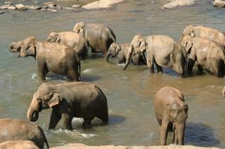 oolifant
